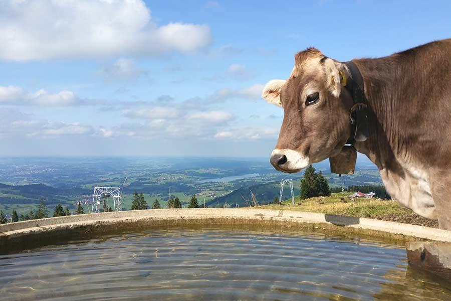 Kuh vor Wassertrog